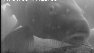 Underwater video related to carp fishing. Testing a line aligner rig. A glimpse of a koi.