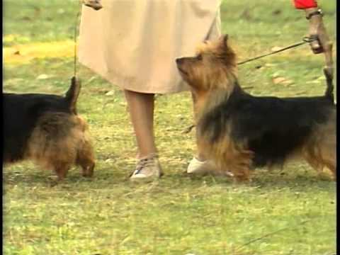 Australian Terrier - AKC Dog Breed Series