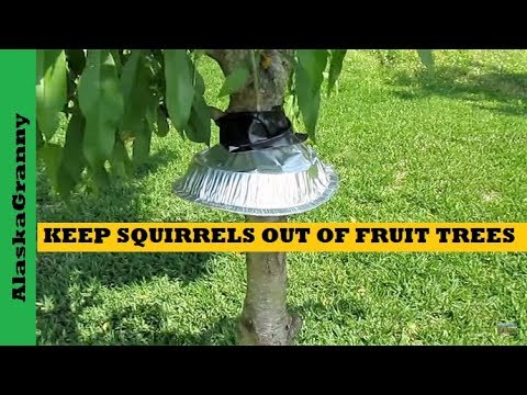 How To Keep Squirrels Out Of Fruit Trees Youtube
