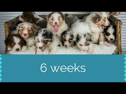 Puppies 6 Weeks   Australian Shepherds   Skaye's