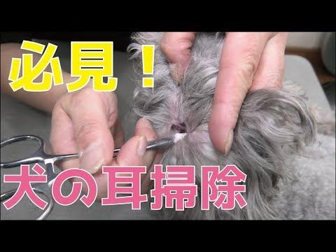 耳 掃除 犬 犬の耳掃除のやりかた・ケア方法を詳しくご紹介