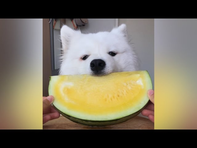 ASMR Dog Eating Yellow Watermelon I MAYASMR