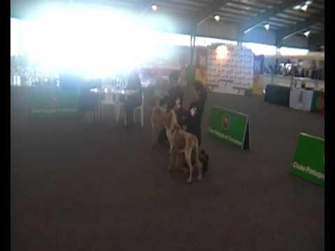 Bracco Italiano Dog Show Caldas