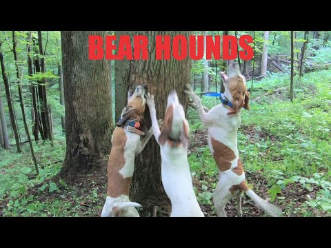 BEAR HUNTING WITH ENGLISH HOUNDS - TUMBLING BEAR!