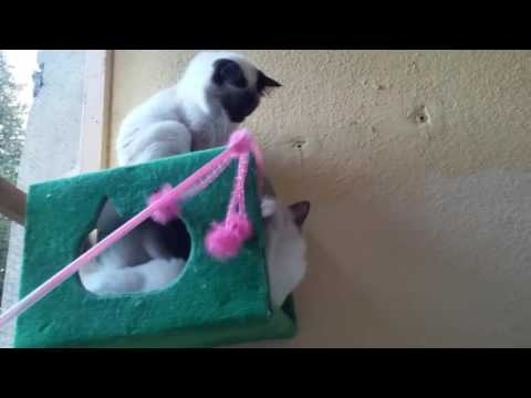 Sacred Birman cat's pink frenzy
