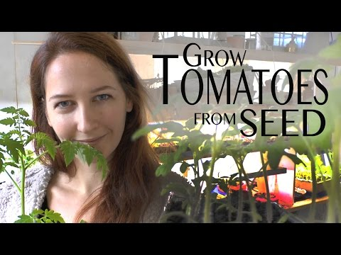 Tomatoes: How to Grow Organic non-GMO Tomatoes from Seed