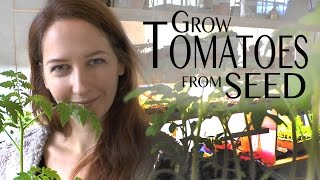 Tomatoes: How to Grow Organic GMO-free Tomatoes from Seed