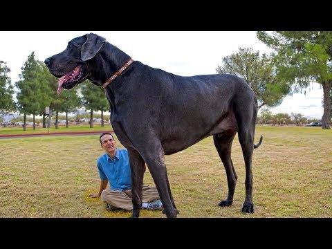 El Perro m�s GRANDE del Mundo. �IMPRESIONANTE!