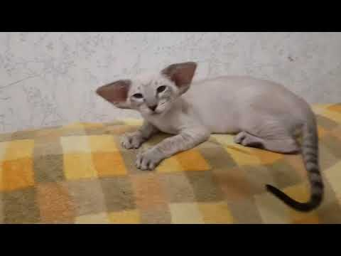 Siamese oriental kitten