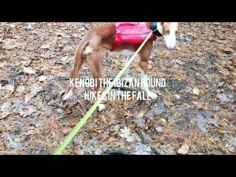 Kenobi the Ibizan Hound Hikes in Fall