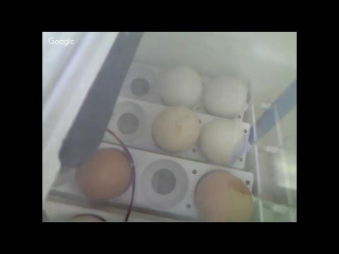 Bentsen Chick Hatching