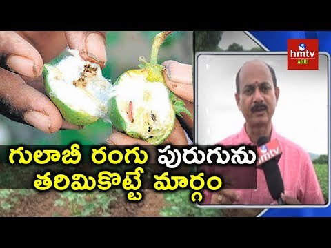 Pink Bollworm | How to Control Pink Bollworm in Cotton | hmtv Agri