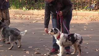 Социализация щенка, встреча с агрессивной собакой