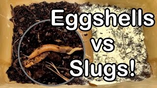 Slug Wars Trilogy pt. III - Eggshells vs Slugs