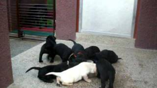 5 Week Old Labrador Retriever Puppies At Feeding Time (1 Of 3)