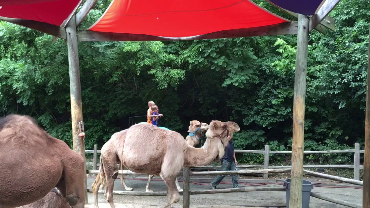 Myklyaksa Bronx Zoo Camel Back Ride 2016 Youtube