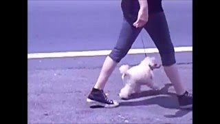 This Video Previously Contained A Copyrighted Audio Track. Due To A Claim By A Copyright Holder, The Audio Track Has Been Muted.     Kanogra's Ellie Marie Toy Poodle Training -kanogra Kennel-