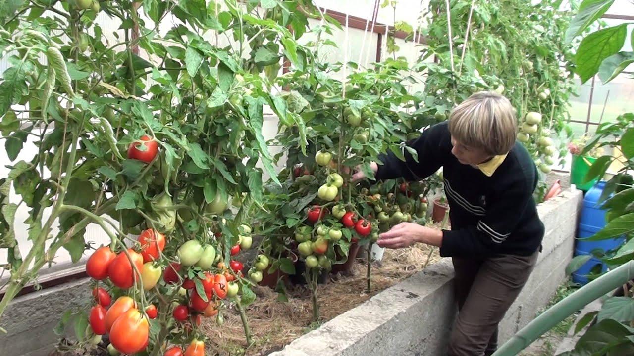 Можно ли сажать огурцы с томатами и перцами в одной теплице