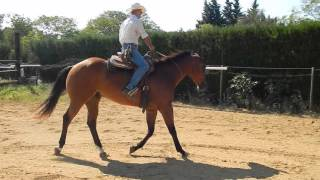 SKIP Hongre Quarter Horse de 3 ans et demi,