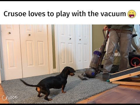 Crusoe the Dachshund LOVES to Play with the Vacuum