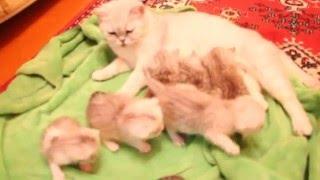 Шотландские котята -3 недели