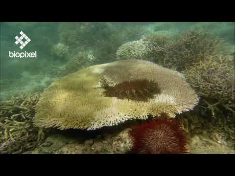 Oceanpedia   Critter finder   Echinoderm   Seastar   Crown of Thorns