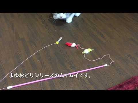 2017.01.07 猫の碧くん おもちゃが好きすぎて唸る猫 スコティッシュフォールド