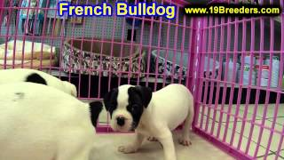 French Bulldog, Puppies, For, Sale, In, South Bend, Indiana, County, In, Allen, Hamilton, St  Joseph