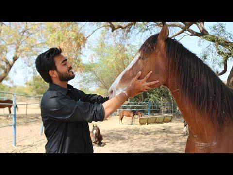 Horse farm Tour Ahmedabad   Barot stud farm   saddle and stale club    MARWARI STALLION