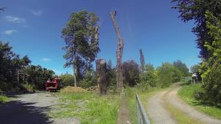 Arborist Safely Carries out Pine Tree removal!