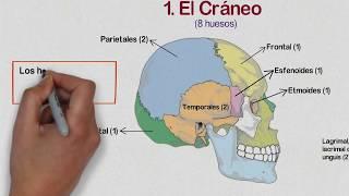 Huesos de la Cabeza - Huesos del Cráneo, la Cara y Oído Medio thumbnail