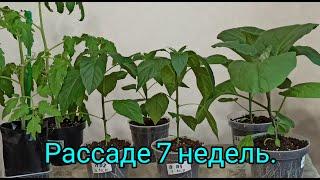 Уход за рассадой томатов перцев и баклажанов 7 недель