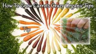 How To Grow Carrots Crazy Organic Tips