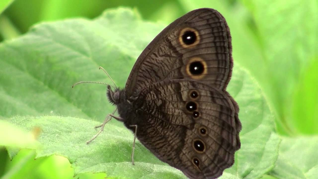Common Wood-nymph Butterfly - YouTube