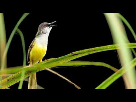 Suara Burung Prenjak Tebu Buat Mikat