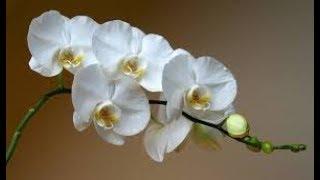 Посмотрите что Я сделала ... Чахлые орхидеи цветут как ненормальные