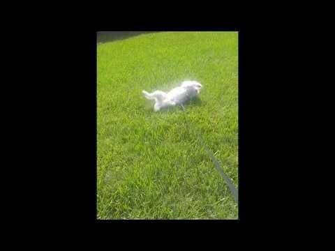My dog rolling around in grass
