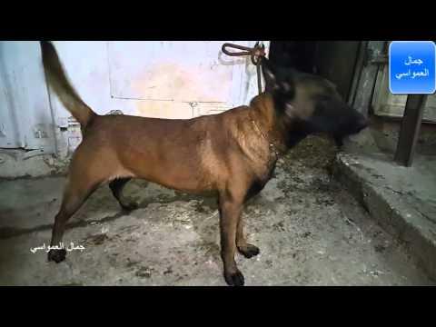 كلب المالينو الوجه الاسود مع جمال العمواسي