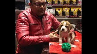 Do Beagles are beautiful and intelligent dogs to have by Baadal Bhandaari Pathankot. 9878474748