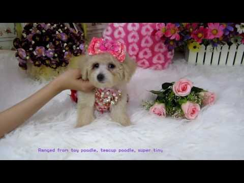 toy teacup teddybear poodle #485