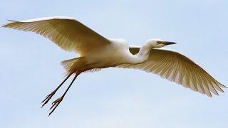 Цапля белая большая. Полёт. Great egret. Flight.