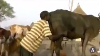 Afrikada Kabız Olan İneğe Ne Yapıyorlar İzleyin.