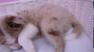 生年月日:2016/11/05 性別:メス カラー:チョコレートマール&ホワイト.