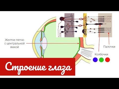 Строение глаза человека, зрительный анализатор