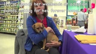 Adopt An Adorable Pug/beagle Mix Named Izarra!