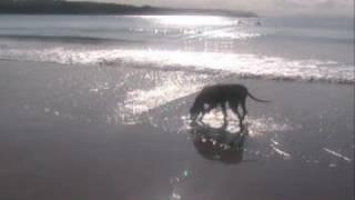 Amber Weimaraner At Portrush Beach