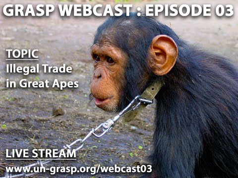 GRASP Webcast EP 3 -The Illegal Trade in Great Apes