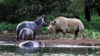 Pertarungan Sengit Badak vs Kuda nil