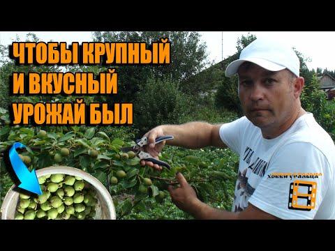 Вопрос: Влияет ли количество стволов на урожайность яблони?