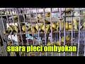 Suara Pleci Ombyokan Untuk Pancingan Pleci Agar Buka Paruh  Mp3 - Mp4 Download